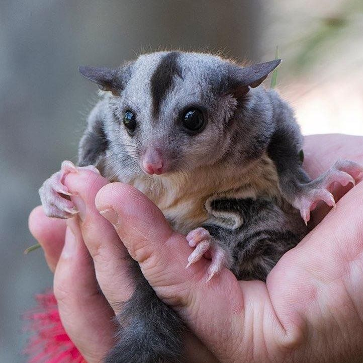 Flying Possum, squirrel glider