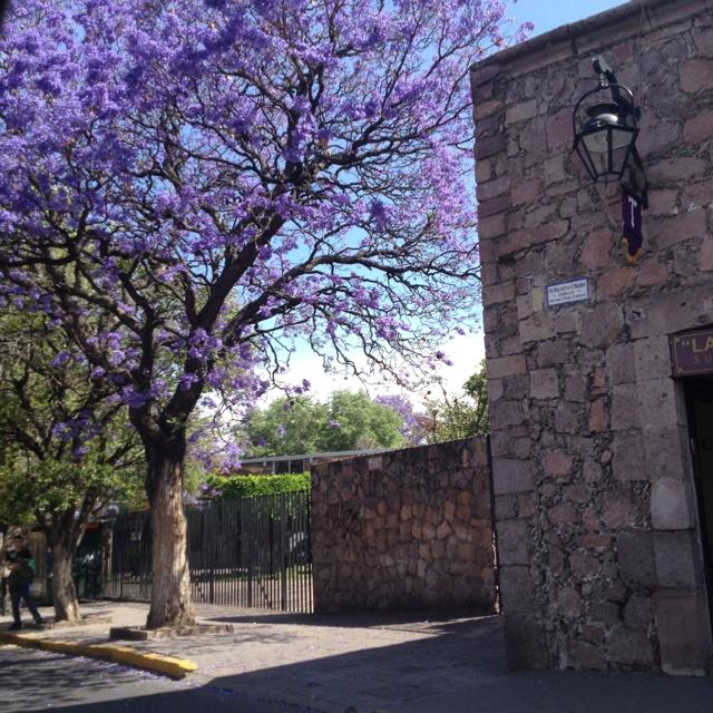 Árbol de jacaranda afuera de la Escuela Normal en Morelia Michoacán.