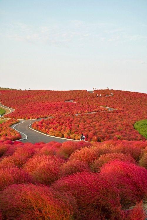 Kochia Hill - Hitachi Seaside Park in Hitachinaka, Ibaraki, Japan