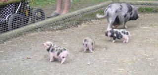 Miniature pot-bellied piglets, Lycksele Zoo, Sweden.