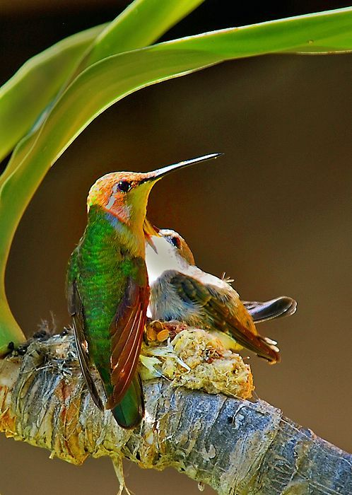 Mãe e filhote de beija-flor.