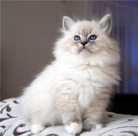 Romantic Melody's ~ Neva Masquarade ~ Sibirische Katze