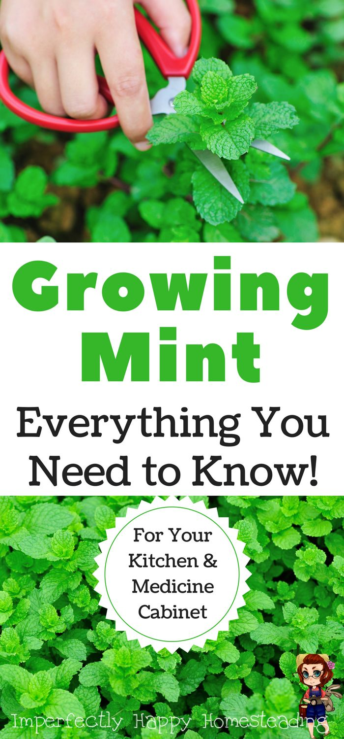 Growing Mint - Everything You Need to Know! Growing This Herb For Your Kitchen AND Medicine Cabinet.