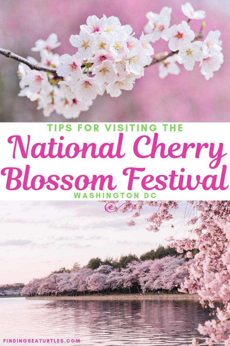 Visit The Spectacular National Cherry Blossom Festival 2019 In Washington Dc Finding Sea Turtles Cherry Blossom Festival Cherry Blossom Festival Dc Cherry Blossom Washington Dc