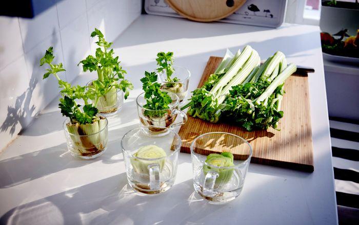 Der Strunk eines Stangenselleries in Wasser gestellt, wie hier in IKEA 365+ Becher aus Klarglas.