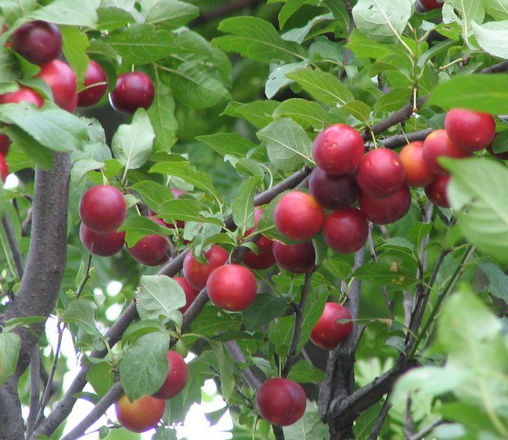 Sapete cos'è il #Biricoccolo? Il biricoccolo è un ibrido naturale prodotto dall'incrocio tra le specie #albicocco (Prunus armenica) e susino mirabolano (Prunus cerasifera) #bio #natura #agricoltura