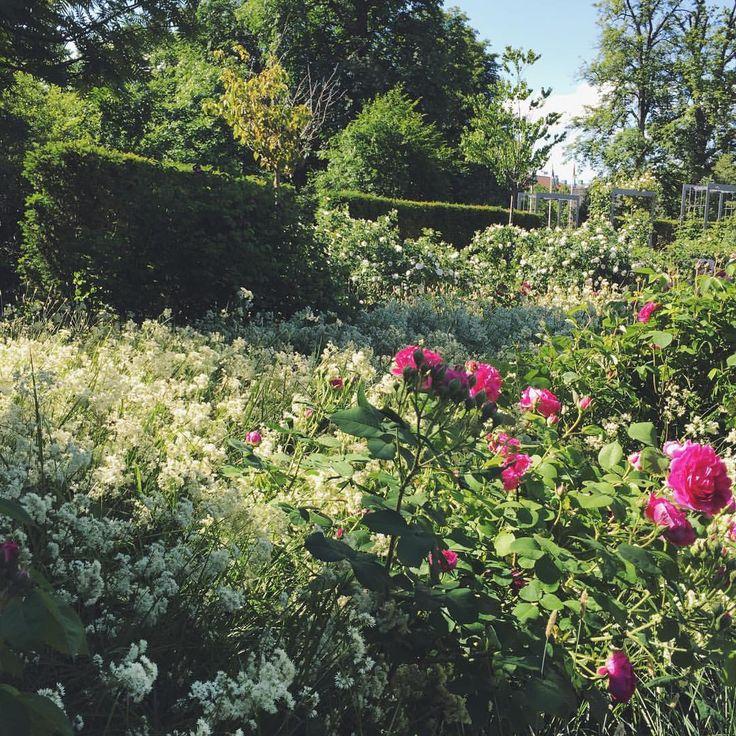 """22 gilla-markeringar, 1 kommentarer - Ulrika Gustafsson (@plingsulli) på Instagram: """"Promenerar till jobbet genom härligt blomhav. #rosor #plants #växter #trädgård"""""""