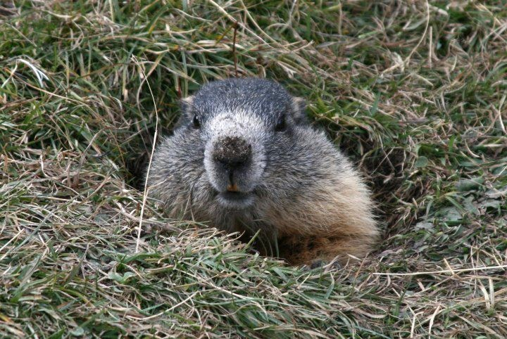 """Marmot""  Trentino  ©Elena Calliari - our Facebook fan  http://www.visittrentino.it/"