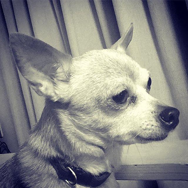 今日は凛々しい。 #japan #japantown #dog #dogstagram  #miniaturepinscher  #chihuahua  #mix #mixdog  #hachi #hachiko  #monochrome #monotone  #犬 #ミニチュアピンシャー  #ミニチュアピンシャーミックス  #チワワ #チワワミックス  #愛犬 #ハチ #ハチ子