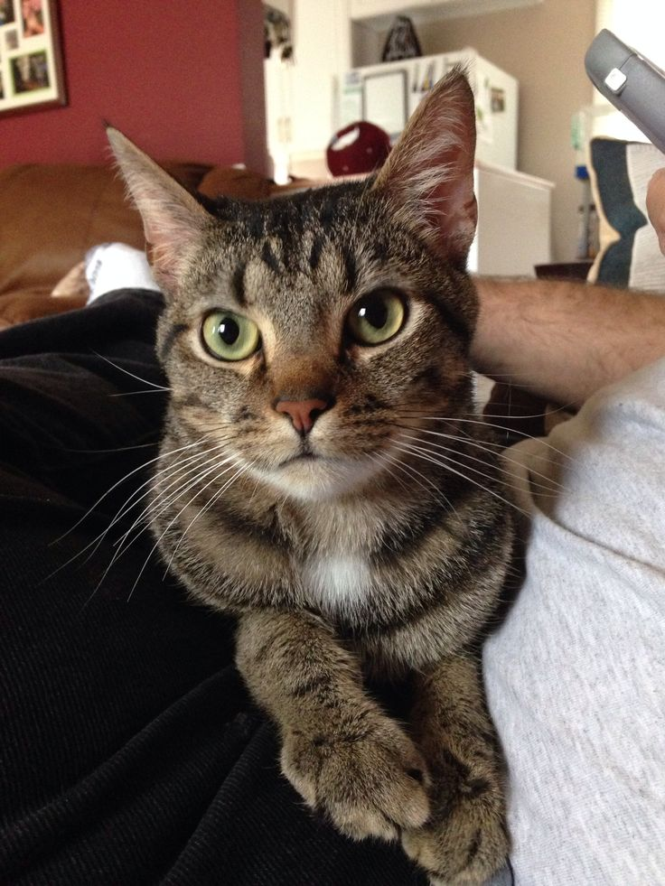 Milo, the European Short Hair! Cat lovers, Animals, Cats