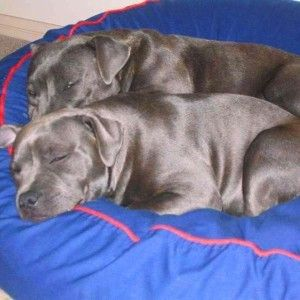 Staffordshire, Charlie & Bonny very comfortable on their Barka Parka pet bean bag