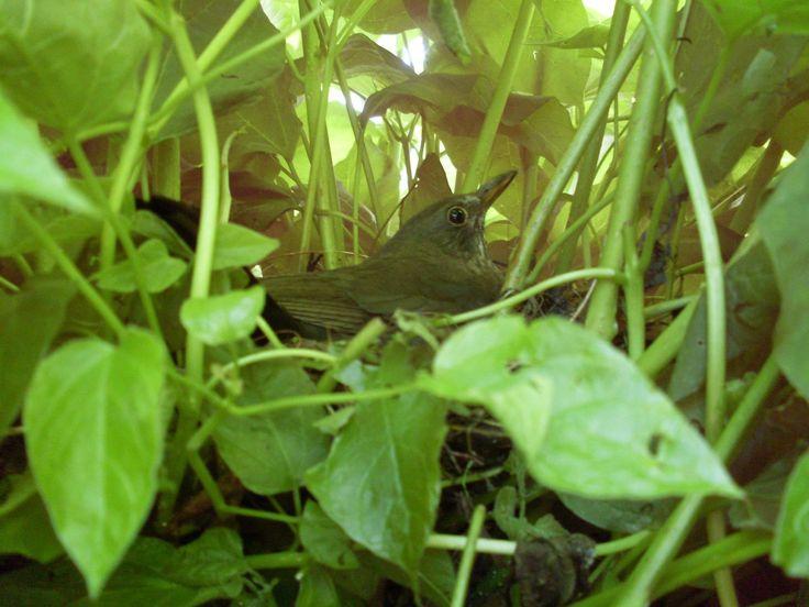 Er zit een merel op zijn nest in onze Catalpa boom