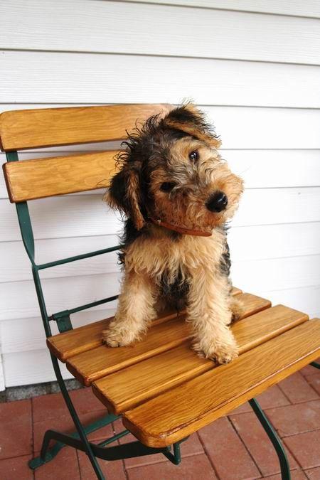 Lakeland Terrier by Nobbi K
