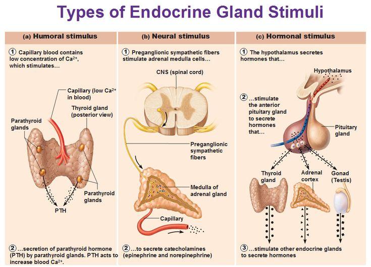endocrine gland stimuli, humoral, neural and hormonal ...