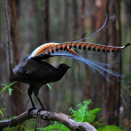 The superb lyrebird (Menura novaehollandiae) is a pheasant-sized Australian songbird, measuring approximately 100 cm (39 in) long and weighing around 1 kg (2.2 lb), with brown upper body plumage, greyish-brown below, rounded wings and strong legs.