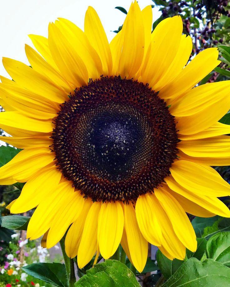 I found the sunflower emoji! 🙌🏼🌻 | Sunflower, Plants, Emoji