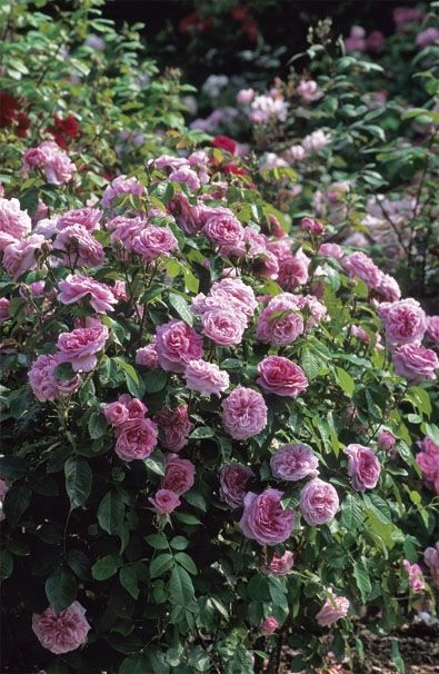 David Austin Roses: Gertrude Jekyll, named to honor the Victorian garden designer and author. Perfectly balanced old rose scent, said to be the quintessential rose fragrance.