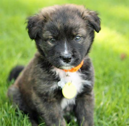 Berkeley the Border Collie Mix puppy - adorable!