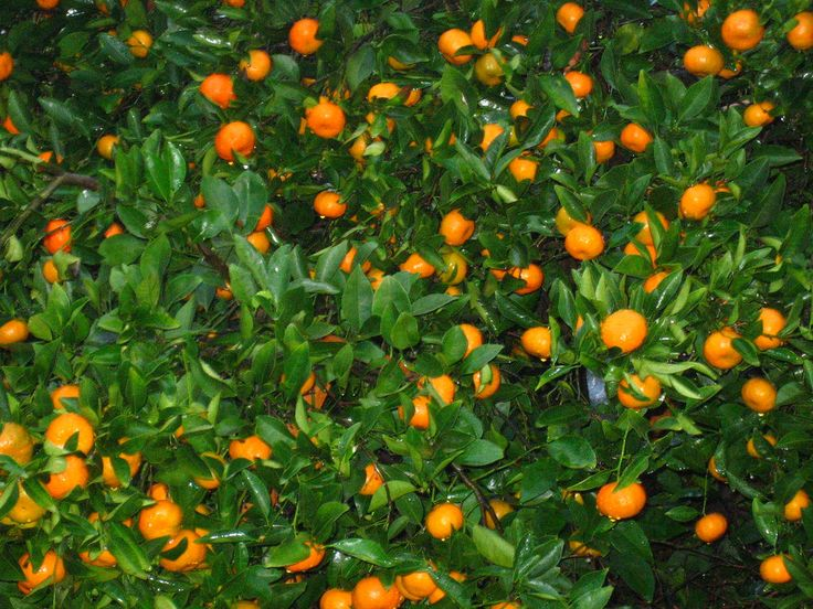 Tangerine Tree Care – How To Grow Tangerines...  Tangerine trees are a type of mandarin orange. This article is for those gardeners with an interest in how to grow tangerines or how to care for a tangerine tree you may already have.