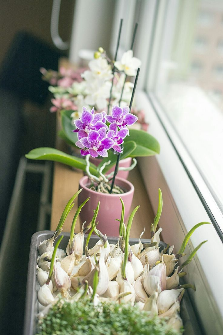 Nice and healthy window: orchids and garlic, cress