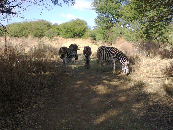 Zebras on our morning walk.