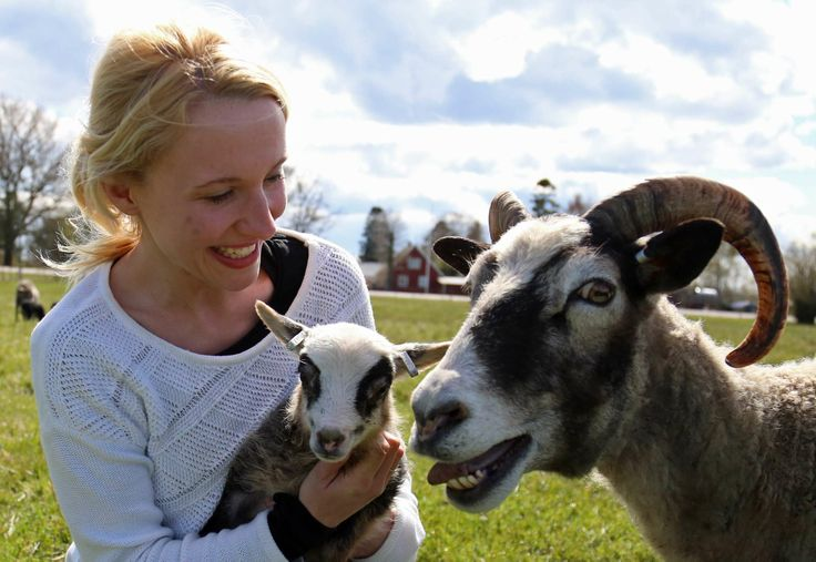 Verena, female and kid of real gotlandic sheep. GotlandNature.Com