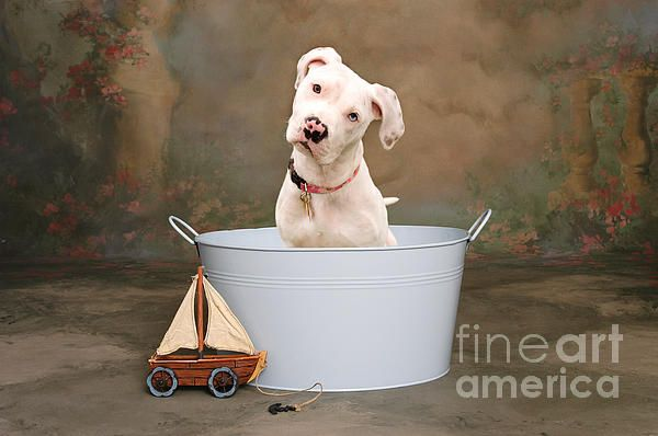 Portrait of a very cute white pitbull dog puppy with one blue eye and one brown eye. Fine art photography prints, decorative canvas prints, acrylic prints, metal print wall art for sale on FineArtAmerica.com. Prints starting at $22. Copyright: James Bo Insogna