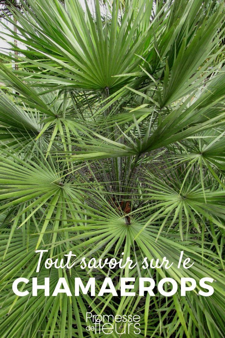Chamaerops Palmier Nain Planter Cultiver Et Entretenir