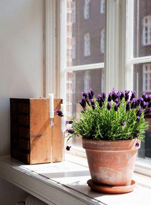 lavender plants looks beautiful in this terra cotta pot garden flowers misc info pinterest. Black Bedroom Furniture Sets. Home Design Ideas