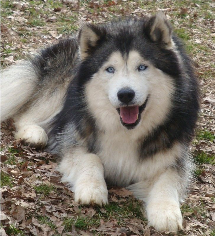 Alusky (Husky Malamute) Info, Training, Puppies and ...
