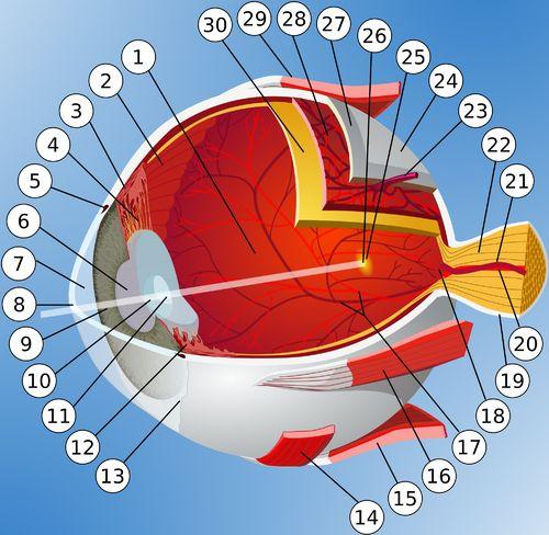 Anatomie des Auges (Diagramm)