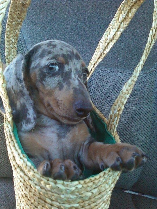 Too cute! Blue Dapple Dachshund - Bing Images