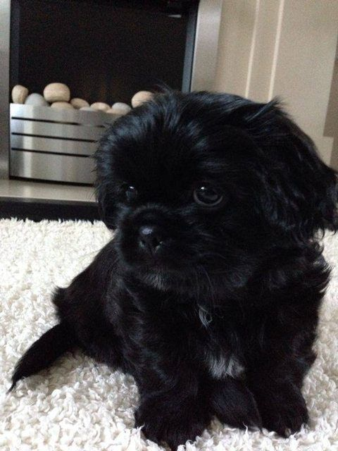 Boomer 8 Week Old Male Shih Tzu Dog For Adoption At Pro Dogs