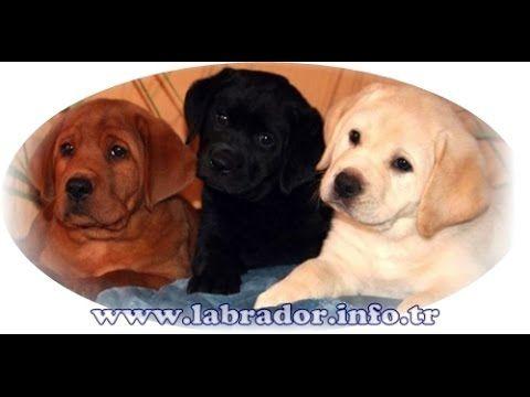 http://www.labrador.info.tr Satılık Labrador Yavruları  0532 343 8041 LABRADOR DÜNYASI   Labrador özellikleri nedir, labrador bakımı nasıldır, labradorlar kaç yıl yaşar gibi tüm soruların cevabını konu içersinde bulabileceksiniz. Labrador gerçek adı Labrador Retriever'dir fakat Türkiye'de herkes Labrador olarak söylemektedir.Ülkemizde en fazla bakılan köpeklerden biri olmasınla beraber insanların ilgisini çeken sevimli güzel bir ırktır.Renkleri sarı, siyah ve kahverengi olarak çeşitleri…