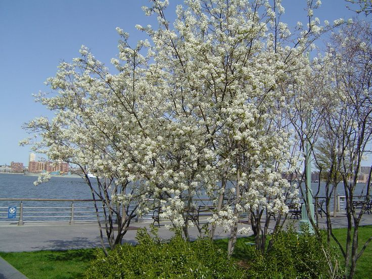 36 best images about trees understory on pinterest trees for Serviceberry tree