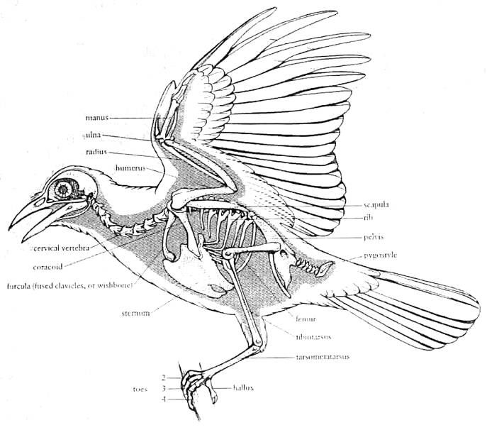 Astonishing Bird Bone Diagram Basic Electronics Wiring Diagram Wiring 101 Tzicihahutechinfo