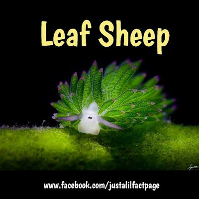 Just a lil fact!: Just a leaf sheep fasct! Does it get any cuter?