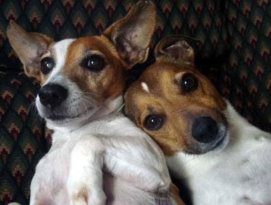(2) Timeline Photos - Jack Russell Terrier Club of America (JRTCA)