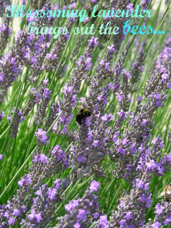 Lavender and bees...signs of summer in full swing