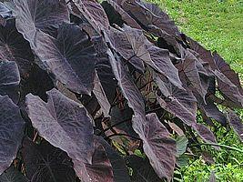 Taro – Colocasia esculenta | O taro é uma planta de textura herbácea, da mesma família do Caládio (Caladium) e apresenta dupla função: como planta ornamental e de uso alimentício. No Brasil o taro confunde-se muitas vezes com o inhame-verdadeiro ou cará. Deve ser cultivado sob sol pleno ou meia-sombra, em solo leve e fértil, enriquecido com matéria orgânica, mantido úmido.