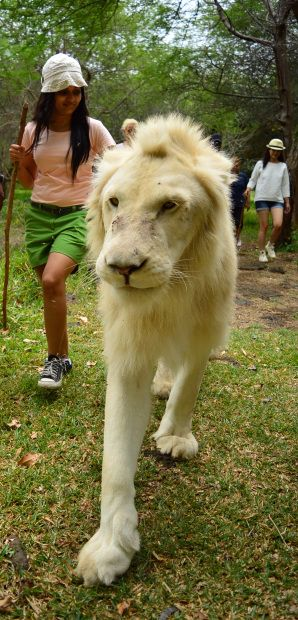 Mauritius, Walk with the lions.....Done! April 2016