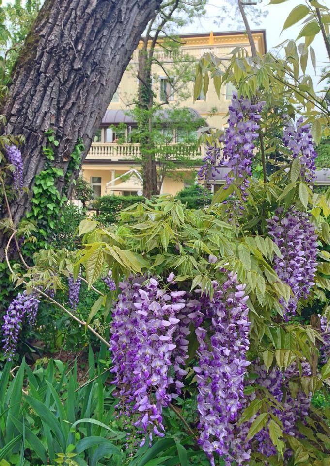 Our #wisteria