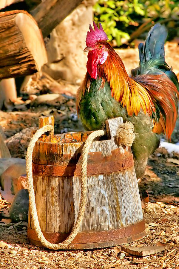Chicken Chores Explore Self-Sustained Living | Rooster | Serafini Amelia