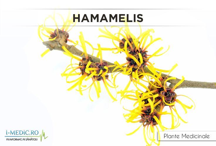 Hamamelisul este eficient pentru: - oprirea hemoragiilor minore; - hemoroizi; - reducerea iritatiilor pielii. http://www.i-medic.ro/plante/hamamelis