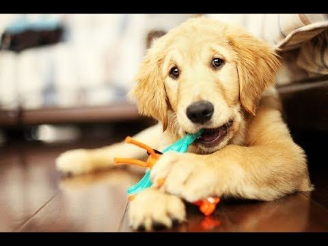 Cute Golden Retriever Puppies Compilation Video 3 Funny Dog