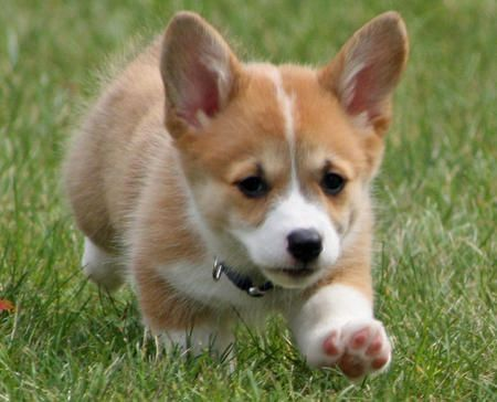 Miniature+Corgi+Puppies | Cricket the Corgi Pictures 117207