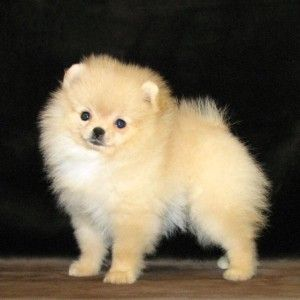 Pomeranian puppy | Фото собаки породы карликовый шпиц. Домашняя порода собак.