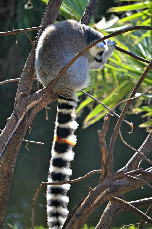 Lemur in the tree. Taken at the Monkey Sanctuary in Knysna, South Africa.