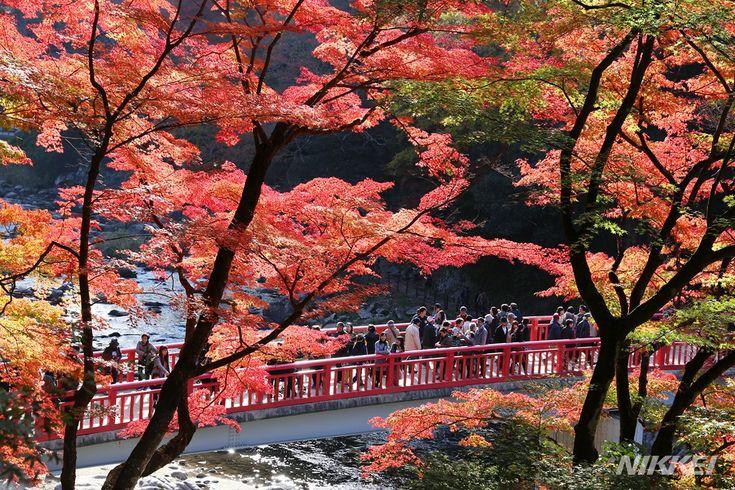 紅葉の名所、香嵐渓が見ごろを迎えています。約4000本のモミジやイチョウが赤や黄色に色づき、今週末から来週にかけてピークを迎えるそうです。愛知県豊田市足助で今井拓也撮影 #紅葉 #Autumn