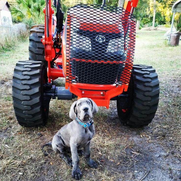 Great Dane puppy Fergus  & Kubota tractor